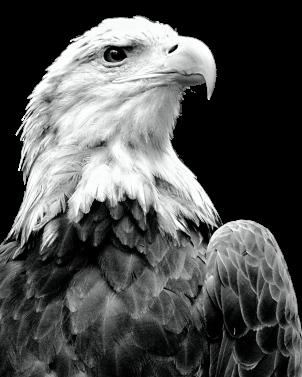 bald eagle bw